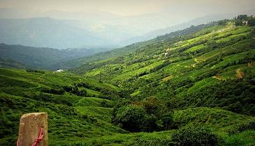Tea Gardens Valley