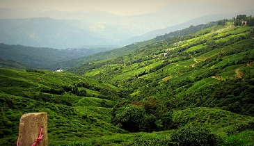 Tea Gardens Valley